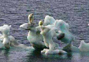 Osos polares ... desorientados